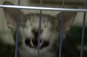 Bójcie się wampirycznego kota, tylko posrebrzana klatka broni was przed apokalipsa kocich wampirów.